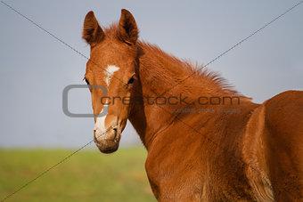 Portrait of funny sorrel foal