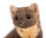 European Pine Marten or pine marten, Martes martes, 4 years old, against white background