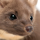 European Pine Marten or pine marten, Martes martes, 4 years old, close-up