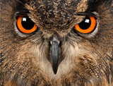 Eurasian Eagle-Owl, Bubo bubo, 15 years old, close-up