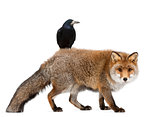 Old Red fox, Vulpes vulpes, 15 years old, and Rook, Corvus frugilegus, 3 years old, walking against white background