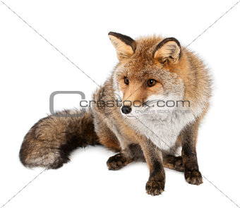 Old Red fox, Vulpes vulpes, 15 years old, sitting against white