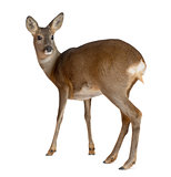 European Roe Deer, Capreolus capreolus, 3 years old, standing against white background