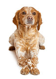 Brown speckled dog lying against white background