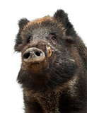 Wild boar, also wild pig, Sus scrofa, 15 years old, portrait and
