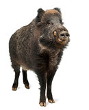 Wild boar, also wild pig, Sus scrofa, 15 years old, standing aga