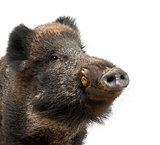 Wild boar, also wild pig, Sus scrofa, 15 years old, close up por
