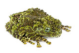 Mossy Frog, Theloderma corticale, also known as a Vietnamese Mos