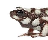 Marañón Poison Frog or Rana Venenosa, Ranitomeya myster