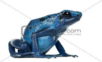 Blue and Black Poison Dart Frog, Dendrobates azureus, against wh