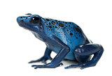 Blue and Black Poison Dart Frog, Dendrobates azureus, against wh