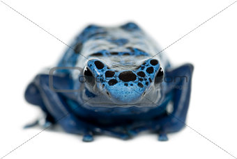 Blue and Black Poison Dart Frog, Dendrobates azureus, portrait a