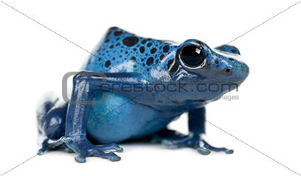 Blue and Black Poison Dart Frog, Dendrobates azureus, portrait a