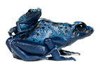 Female Blue and Black Poison Dart Frog with young, Dendrobates a
