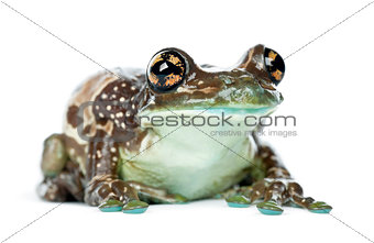 Amazon Milk Frog, Trachycephalus resinifictrix, portrait against