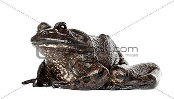 American bullfrog or bullfrog, Rana catesbeiana, against white b