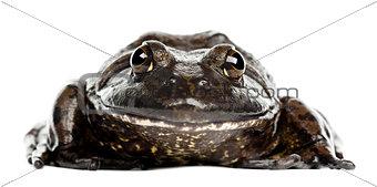 American bullfrog or bullfrog, Rana catesbeiana, portrait agains