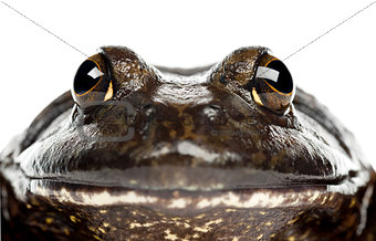 American bullfrog or bullfrog, Rana catesbeiana, portrait and cl