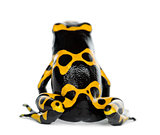 Rear view of a Yellow-Banded Poison Dart Frog, also known as a Y