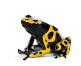 Yellow-Banded Poison Dart Frog, also known as a Yellow-Headed Po