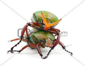 Mating Flamboyant Flower Beetles or Striped Love Beetle, Eudicel
