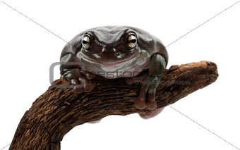 Australian Green Tree Frog, simply Green Tree Frog in Australia,