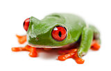 Red-eyed Treefrog, Agalychnis callidryas, portrait against white