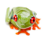 Red-eyed Treefrog, Agalychnis callidryas, portrait and close up