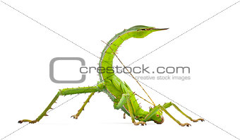 Adult Female Malayan Jungle Nymph, Heteropteryx dilatata, agains