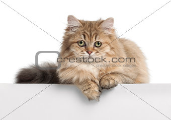British Longhair cat, 4 months old, lying against white background
