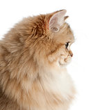 British Longhair cat, 4 months old, against white background