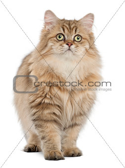 British Longhair cat, 4 months old, standing against white background