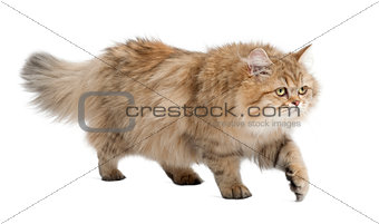 British Longhair cat, 4 months old, walking against white background