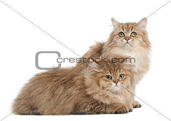 British Longhair cat, 4 months old, lying against white backgrou