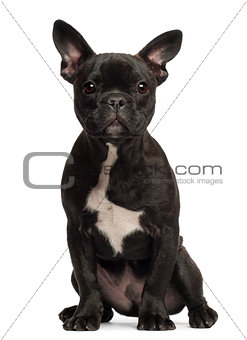 French bulldog puppy, 5 months old, portrait against white background