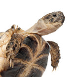 Young Russian tortoise, Horsfield's tortoise or Central Asian tortoise, Agrionemys horsfieldii, close up against white background