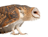 Barn Owl, Tyto alba, 4 months old, standing close up against white background