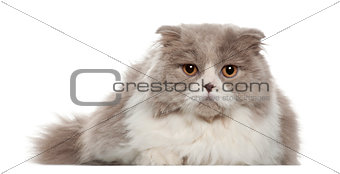 Portrait of British Shorthair cat, 6 months old, in front of white background