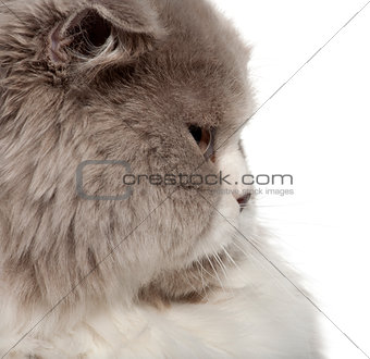 Close up of British Shorthair cat, 6 months old, in front of white background