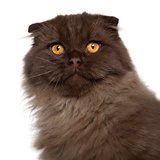 Portrait of Scottish Fold cat, 5 months old, in front of white background