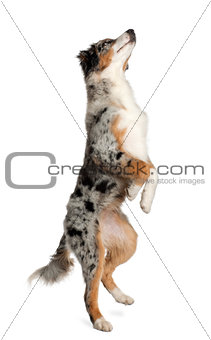 Australian Shepherd, 5 months old, standing in front of white background