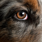 Close up of dog's eye, Australian Shepherd