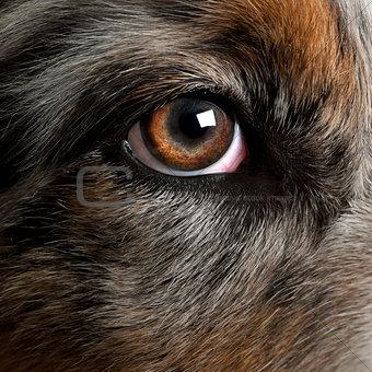 Close up of dog's eye, Australian Shepherd