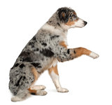 Puppy Australian shepherd playing, 5 months old, sitting in front of white background