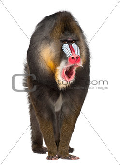 Portrait of Mandrill, Mandrillus sphinx, 22 years old, primate of the Old World monkey family against white background