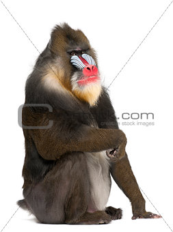 Portrait of Mandrill, Mandrillus sphinx, primate of the Old World monkey family 22 years old against white background