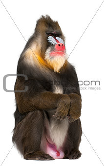 Portrait of Mandrill sitting, Mandrillus sphinx, 22 years old, primate of the Old World monkey family against white background