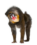 Mandrill shaking- Mandrillus sphinx, 22 years old, primate of the Old World monkey family against white background