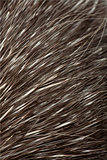 North American Porcupine, Erethizon dorsatum, also known as Canadian Porcupine or Common Porcupine, close up of fur