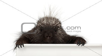 Portrait of North American Porcupine, Erethizon dorsatum, also known as Canadian Porcupine or Common Porcupine getting out of box, e against white background